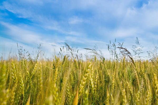 واریز 60 میلیارد تومان به حساب کشاورزان لرستان