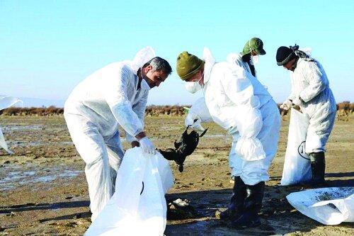 اطلاعات تازه درباره اتفاق اخیر میانکاله؛ مرگ 30 هزار پرنده مهاجر