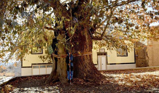 چنار 800 ساله نصرآباد یزد در انتظار ثبت ملی