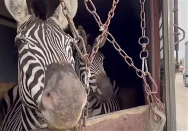 توضیحات باغ وحش صفادشت؛ کارکنان گمرک عامل تلف شدن گورخر آفریقایی بودند
