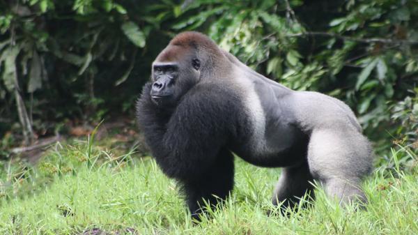 هزینه ساخت ویلا دوبلکس: ابتلای گوریل های باغ وحش آتلانتا در آمریکا به کرونا